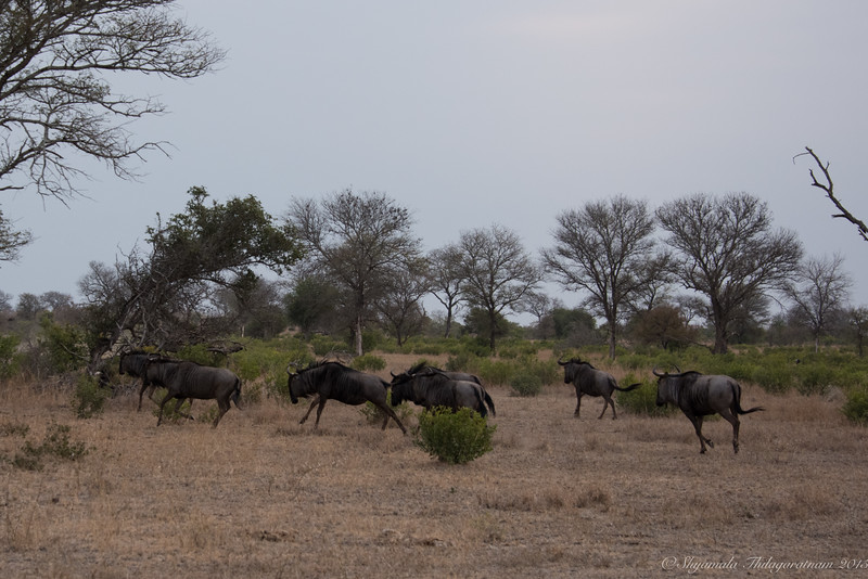 Wildebeest - not quite the Masai Mara crossing