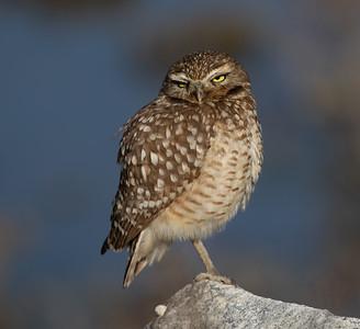 Burrowing Owl San Elijo Lagoon 2021 01 26-2.CR3