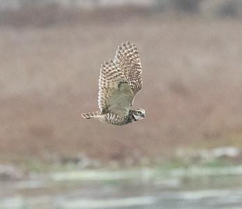 Burrowing Owl San Elijo Laggoon 2021 02 08-1.CR3