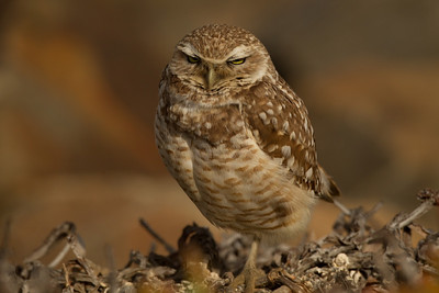 Burrowing Owl  San Diego River 2014 02 21-2.CR2
