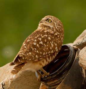 Burrowing Owl  Cibola NWR 2014 01 31-1.CR2