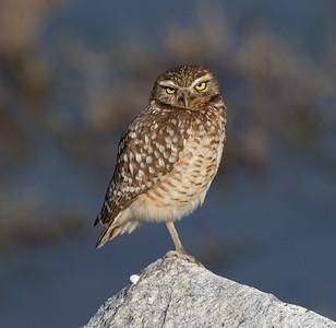 Burrowing Owl San Elijo Lagoon 2021 01 26-1.CR3