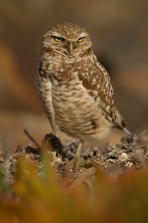 Burrowing Owl  San Diego River 2014 02 21-3.CR2