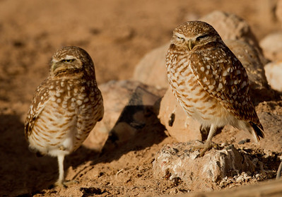 Burrowing Owl  Cibola NWR 2014 02 01-1.CR2