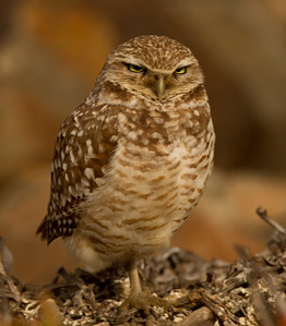Burrowing Owl  San Diego River 2014 02 21-4.CR2