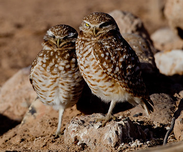 Burrowing Owl  Cibola NWR 2014 02 01-2.CR2
