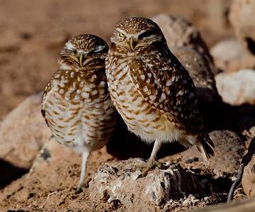 Burrowing Owl  Cibola NWR 2014 02 01-2.CR2