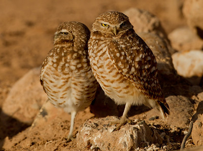 Burrowing Owl  Cibola NWR 2014 02 01-3.CR2