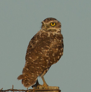 Burrowing Owl  El Centro California 2011 08 23-1.CR2-3.CR2