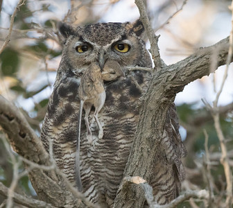 Great-horned Owl  Oasis 2018 09 04-4.CR2