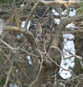 Great-horned Owl  Oasis 2018 09 04-2.CR2