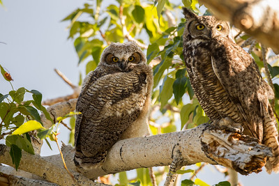 Great-horned Owl near Gardnerville  Nevada 2016 05 26-2.CR2