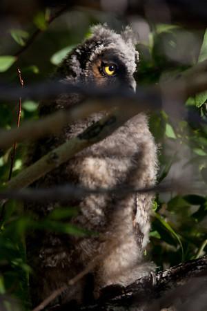 Long-eared Owl  Magee Creek Ca. 2010 06 24-6.CR2