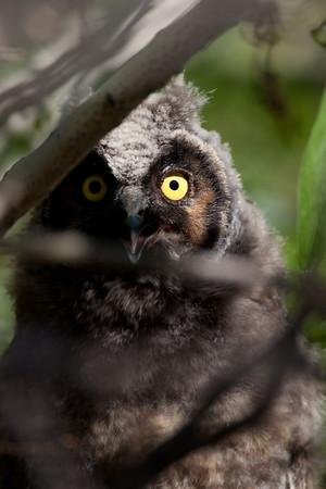 Long-eared Owl  Magee Creek Ca. 2010 06 24-5.CR2