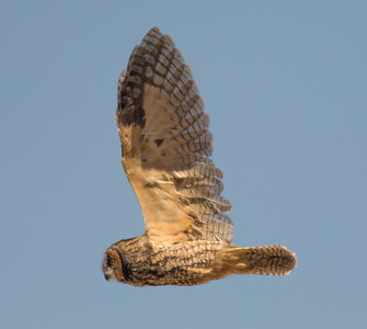 Long-eared Owl Crowley Lake 2015 09 17-1.CR2