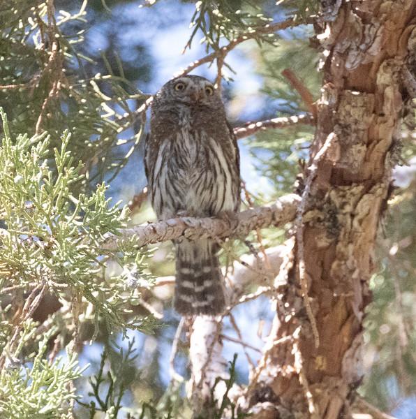 Northern Pygmy Owl O'Harrel Canyon -9.CR3