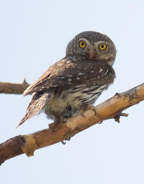 Northern Pygmy Owl O'Harrel Canyon -2.CR3