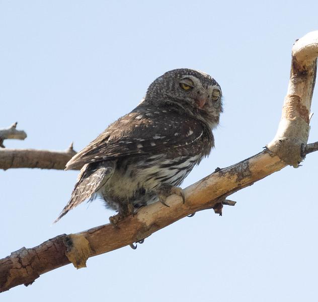 Northern Pygmy Owl O'Harrel Canyon -3.CR3
