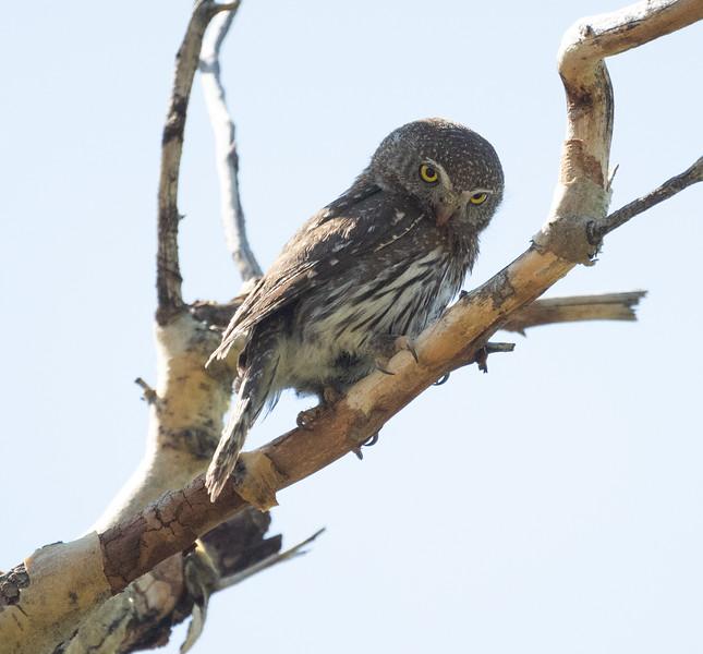 Northern Pygmy Owl O'Harrel Canyon -6.CR3