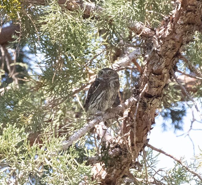 Northern Pygmy Owl O'Harrel Canyon -7.CR3