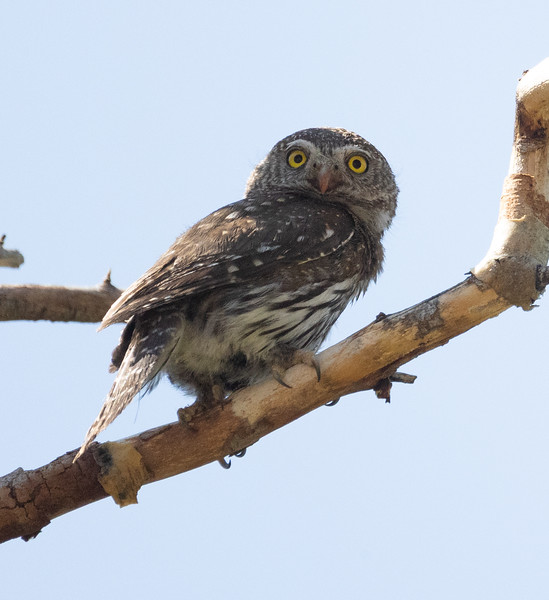 Northern Pygmy Owl O'Harrel Canyon -4.CR3
