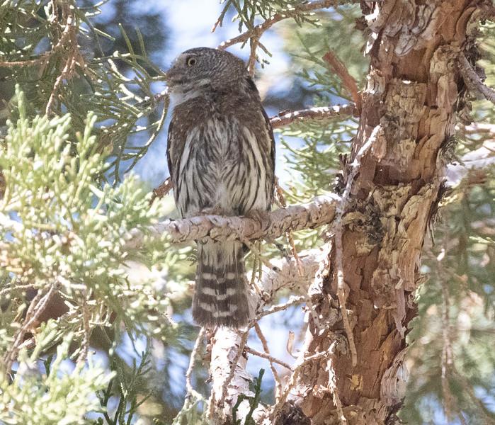 Northern Pygmy Owl O'Harrel Canyon -8.CR3