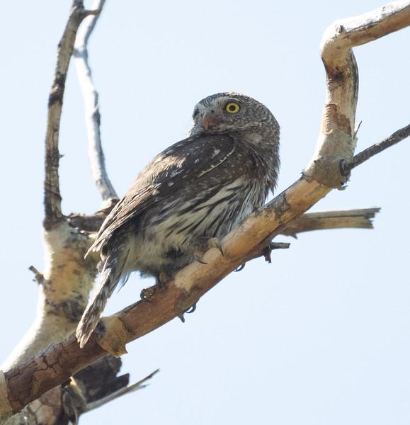 Northern Pygmy Owl O'Harrel Canyon -5.CR3