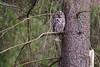 Kattuggla (Tawny owl), Tyresö Stockholm