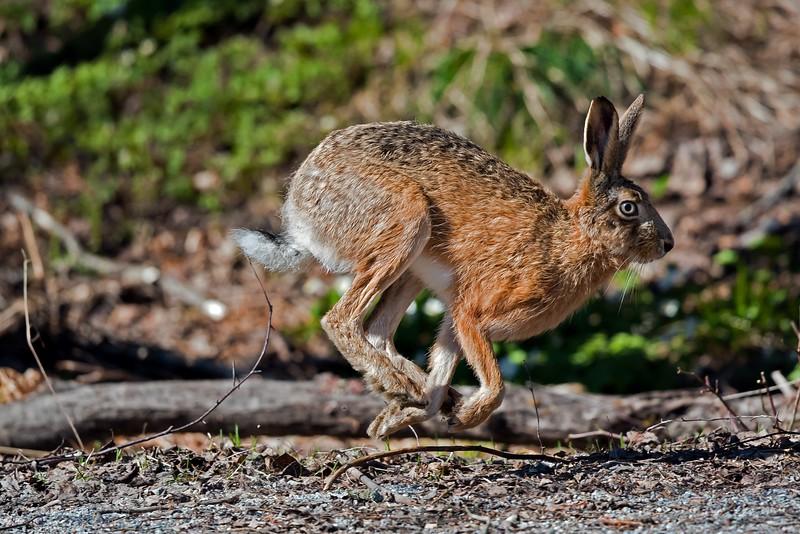 Hare (Lepus), Rabbit.