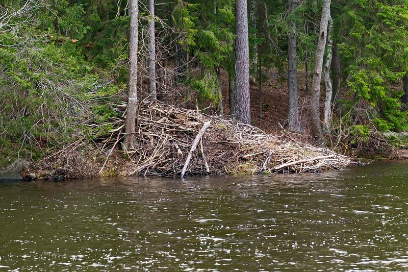 Beaver nest