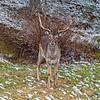 Dovhjort (Dama dama), Fallow deer in my backyard, Tyresö Stockholm