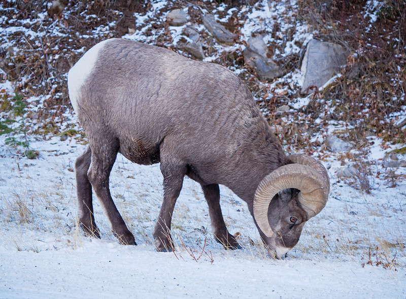 Watch out for sheep on Hwy. 40! One of a pair of well fed rams at roadside near the Galatea trailhead.
