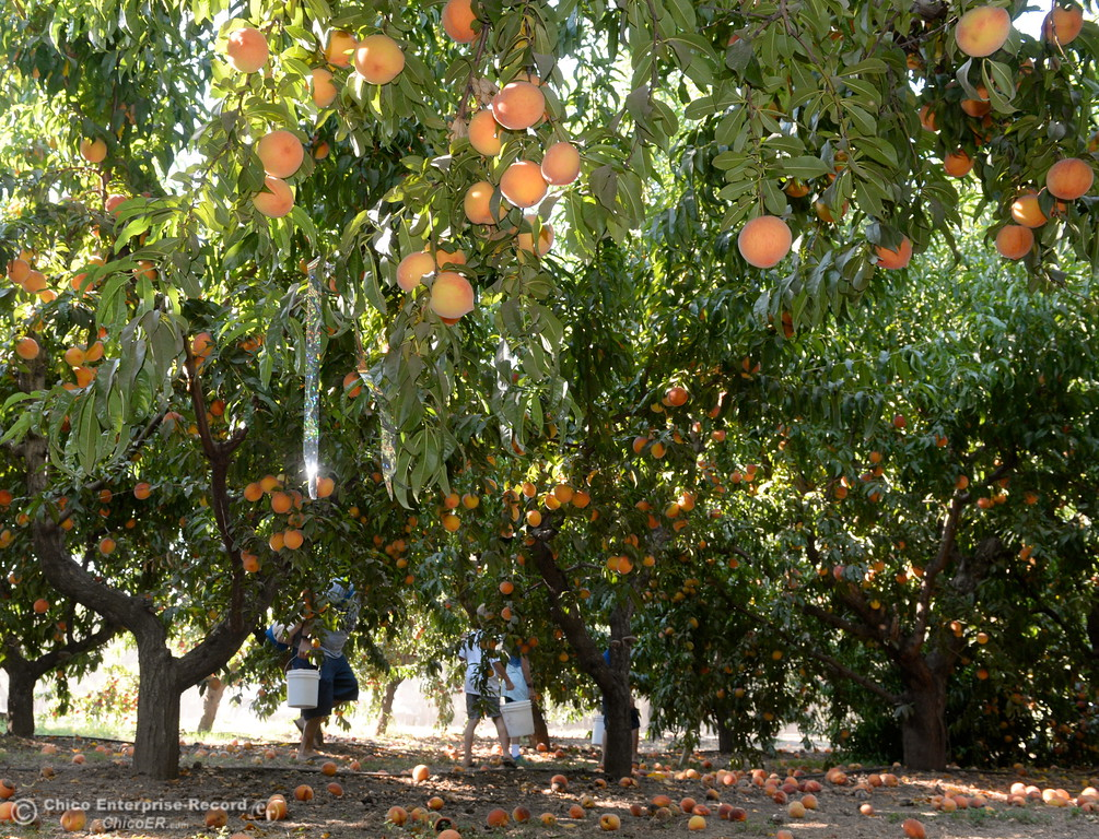 . Fruit lovers pick peaches at the CSUC University Farm U-Pick Peach orchards in Chico, Calif. Thurs. Aug. 10, 2017. (Bill Husa -- Enterprise-Record)