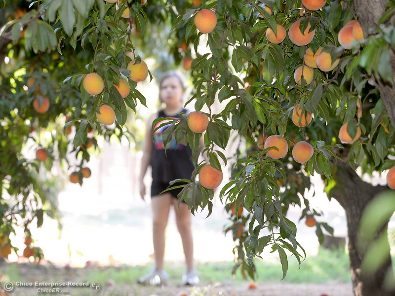 Fruit lovers pick peaches at the CSUC University Farm U-Pick Peach orchards in Chico, Calif. Thurs. Aug. 10, 2017. (Bill Husa -- Enterprise-Record)