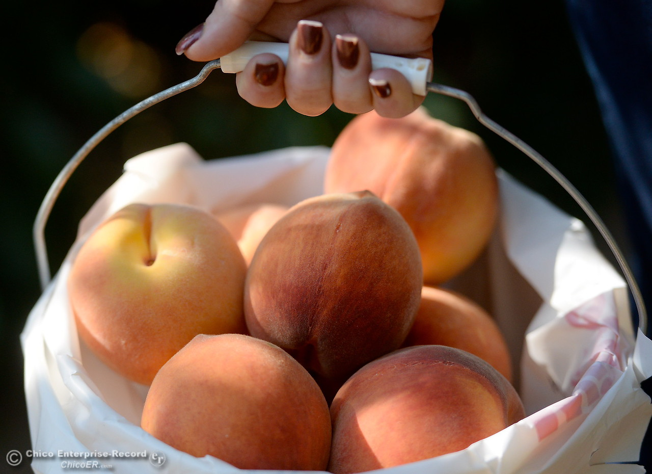 A freshly picked bucket of peaches at the CSUC University Farm U-Pick Peach orchards in Chico, Calif. Thurs. Aug. 10, 2017. (Bill Husa -- Enterprise-Record)