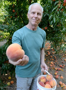 """These are Elberta, we like the big red ones"" said John Varnum of Chico as he picks peaches at the CSUC University Farm U-Pick Peach orchards in Chico, Calif. Thurs. Aug. 10, 2017. (Bill Husa -- Enterprise-Record)"