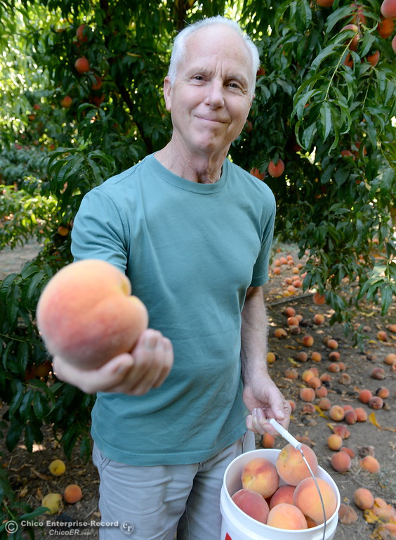 ". ""These are Elberta, we like the big red ones\"" said John Varnum of Chico as he picks peaches at the CSUC University Farm U-Pick Peach orchards in Chico, Calif. Thurs. Aug. 10, 2017. (Bill Husa -- Enterprise-Record)"