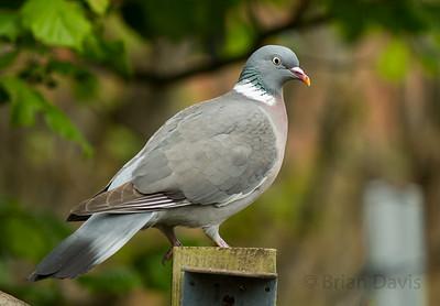 Woodpigeon 2