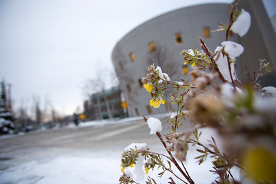 Flower in the snow outside of the UAA/APU consortium library  110415 Campus-TEK-01_1.JPG
