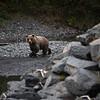"Brown bears along a salmon stream in Kodiak.  <div class=""ss-paypal-button"">180922-KODIAK CAMPUS-JRE-0071.jpg</div><div class=""ss-paypal-button-end""></div>"