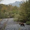 "Brown bears along a salmon stream in Kodiak.  <div class=""ss-paypal-button"">180922-KODIAK CAMPUS-JRE-0087.jpg</div><div class=""ss-paypal-button-end""></div>"