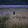 "Brown bears along a salmon stream in Kodiak.  <div class=""ss-paypal-button"">180922-KODIAK CAMPUS-JRE-0049.jpg</div><div class=""ss-paypal-button-end""></div>"