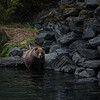 "Brown bears along a salmon stream in Kodiak.  <div class=""ss-paypal-button"">180922-KODIAK CAMPUS-JRE-0055.jpg</div><div class=""ss-paypal-button-end""></div>"