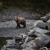 "Brown bears along a salmon stream in Kodiak.  <div class=""ss-paypal-button"">180922-KODIAK CAMPUS-JRE-0072.jpg</div><div class=""ss-paypal-button-end""></div>"