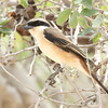 Al Mamzar Park, 16.04.2011<br /> © Khalifa Al Dhaheri<br /> <br /> - So close to a Long-tailed Shrike (with just a hint of traits from Grey-backed Shrike). <br /> Could Long-tailed Shrike hybridise? With what species if so? Most interesting bird. (Lars Svensson, Nov 2017).
