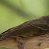 Phylloscopus