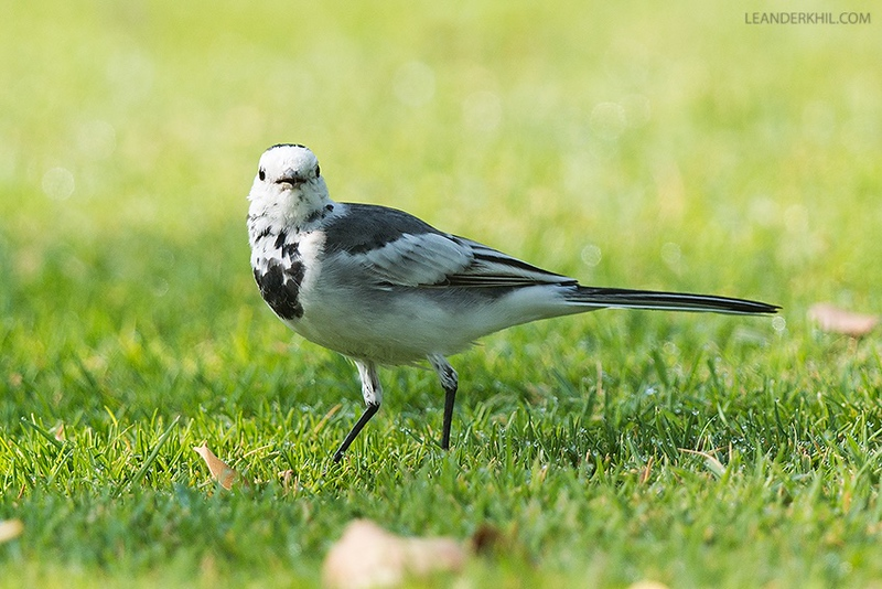 Zabeel Park--south, 17.02.2016<br /> © Leander Khil<br /> <br /> - Per Alström thinks that eastern M. alba dukhunensis can not safely be ruled out because of some dark spots on the throat, which could be black feathers (indicating dukhunensis) or just dark feather bases, in which case the bird would be a good candidate for baicalensis.