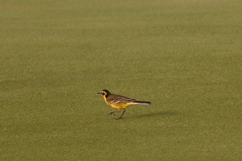 Yas Island--Yas Links Golf Course, 22.04.2018<br /> © John Adams