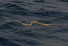 Khor Kalba deepwater fishing, 28 Jun 2011<br /> © Tommy Pedersen<br /> <br /> - Yellow-bellied pelagic sea snake (Pelamis platurus) suggested by Sabah Ibrahim, Emirates Marine Environmental Group