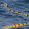 Offshore Khor Kalba, 20.08.2010<br /> © Mike Barth<br /> <br /> - proposed Yellow Sea Snake Hydrophis spiralis spiralis<br /> - Yellow narrow-banded sea snake (Hydrophis spiralis) suggested by Sabah Ibrahim, Emirates Marine Environmental Group